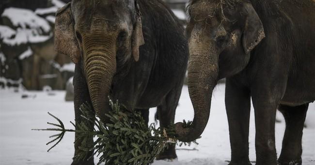 Berlin elephants enjoy late festive snack: Christmas trees