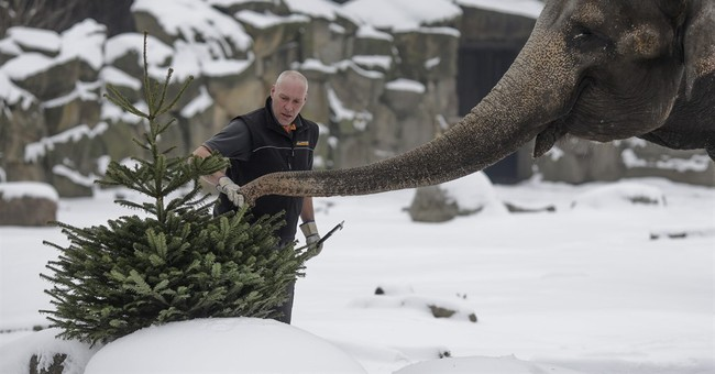 Berlin elephants enjoy late festive snack: Christmas trees