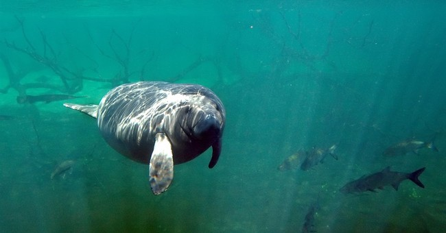 Wildlife officials want to relist manatees as 'threatened'