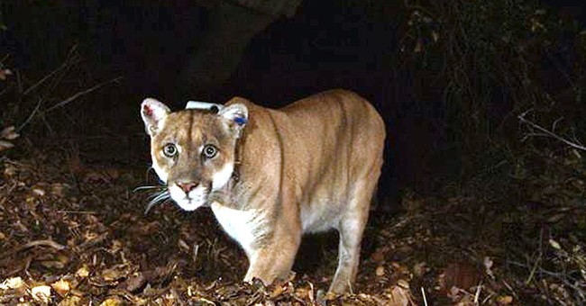 Famous mountain lion may have killed Los Angeles Zoo koala