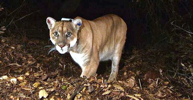 Famous mountain lion may have killed Los Angeles Zoo koala