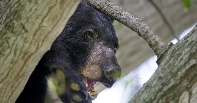 US secretary: Teddy bear's inspiration off 'threatened' list