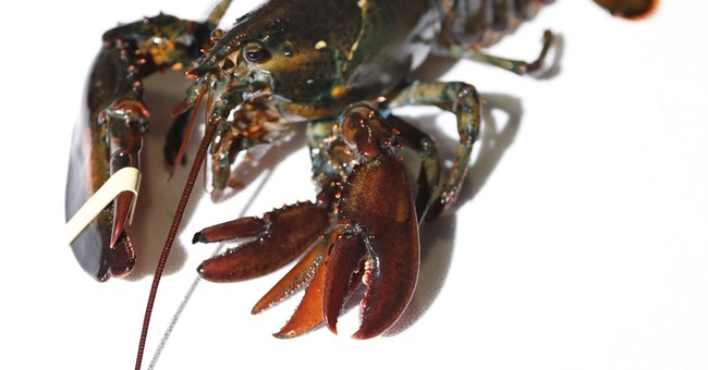 Maine wholesaler acquires rare four-clawed lobster