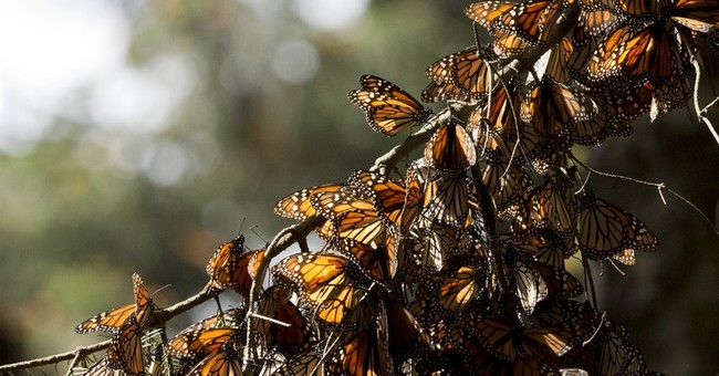 Mexico says monarch butterflies survive severe cold snap