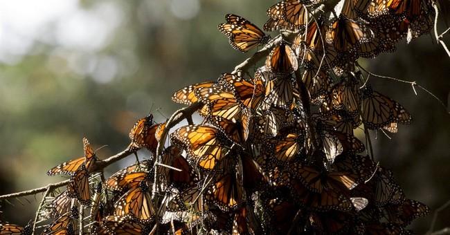 Mexico says monarch butterflies survive severe cold snap