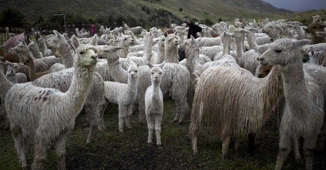 AP PHOTOS: Alpaca fiber from Peru destined for luxury stores