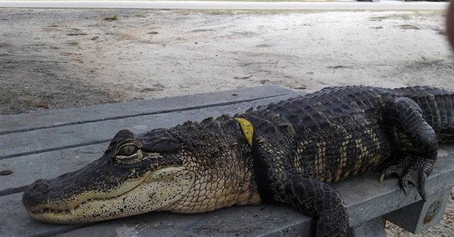 Florida woman fights to keep pet alligator 'Rambo' at home