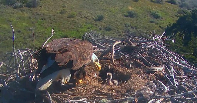 2 bald eagle chicks hatch on California's Santa Cruz Island