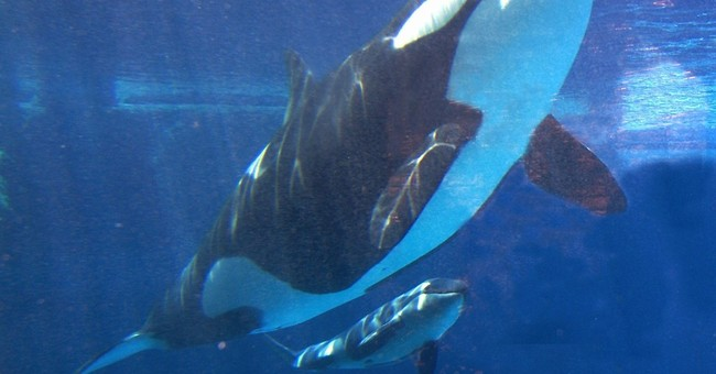 After years of pressure, SeaWorld to stop breeding orcas