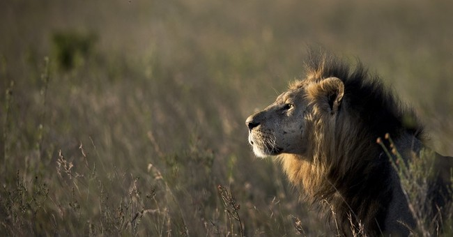 Official says lion injures 1 after straying from Kenya park