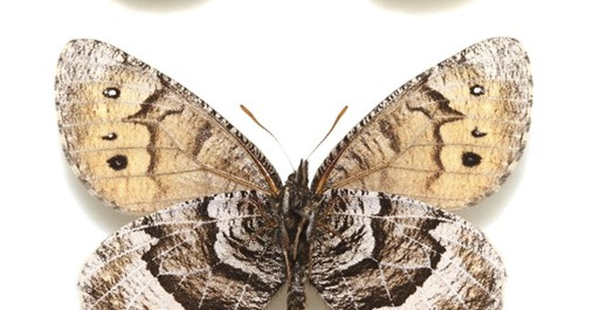 Researcher: New butterfly has clues to geology, climate