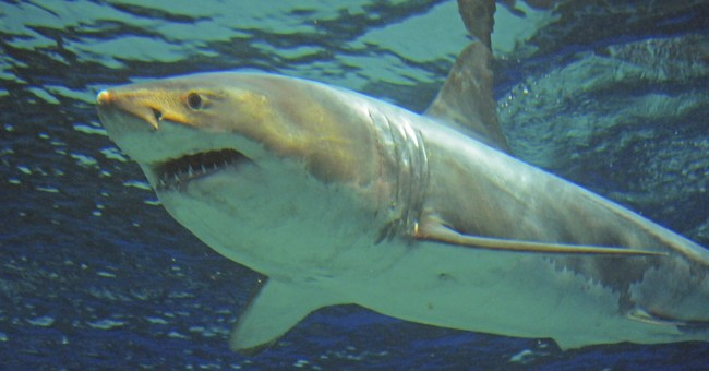 Great white shark dies after 3 days in Japanese aquarium