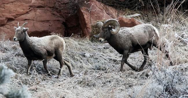 Bighorn ruling could have ramifications on Western grazing