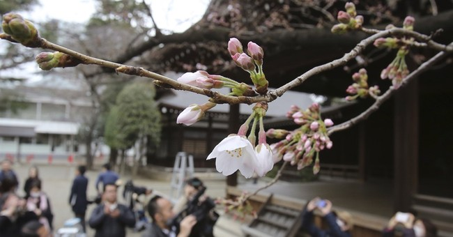 Image of Asia: Cherry blossoms start blooming in Tokyo