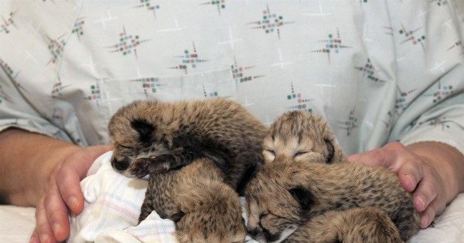 Cheetah dies weeks after giving birth to 5 in rare C-section