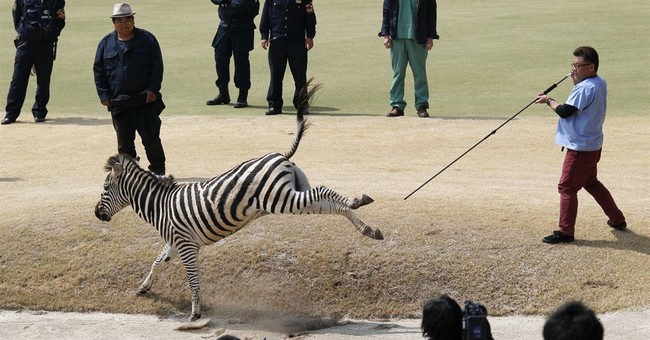 Zebra runs amok in Japanese golf course, dies in lake