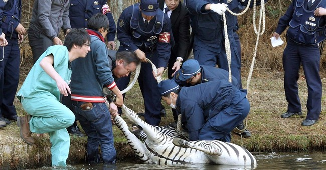 Zebra runs amok in Japanese golf course, dies in lake