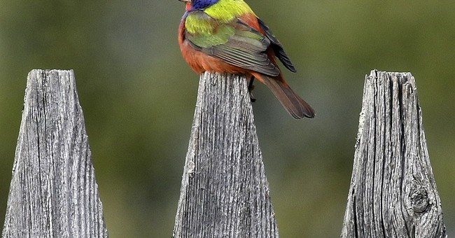 Rainbow-colored bird draws bird watchers to Vermont town