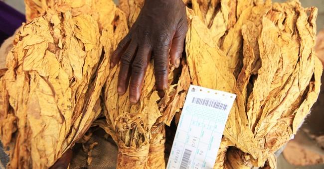 Drought affects Zimbabwe's main export crop, tobacco