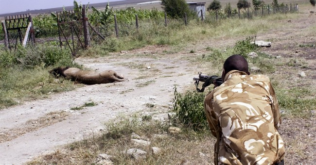 Maasai tribesmen spear 2 lions in Kenya, kill 1