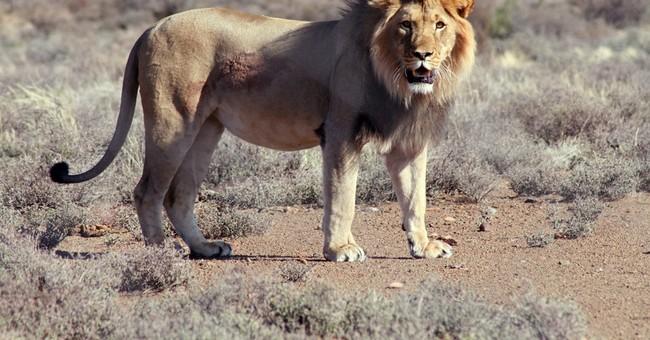 Maasai tribesmen spear 2 lions in Kenya, kill 1
