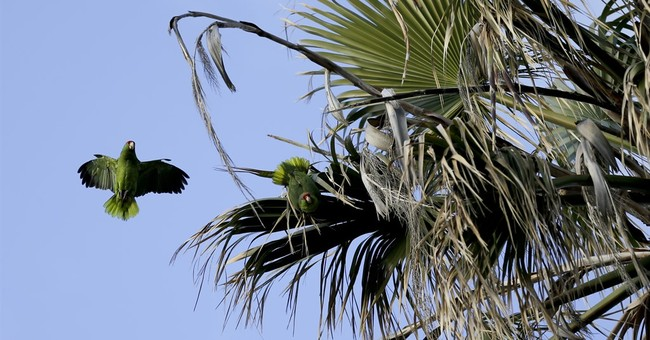 Parrot species in US cities may rival that in native Mexico