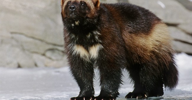 Judge: Climate change imperils wolverines and feds must act