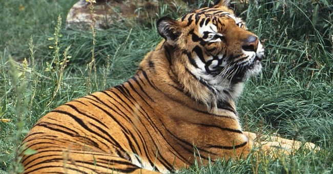 US strengthens protections for captive tigers
