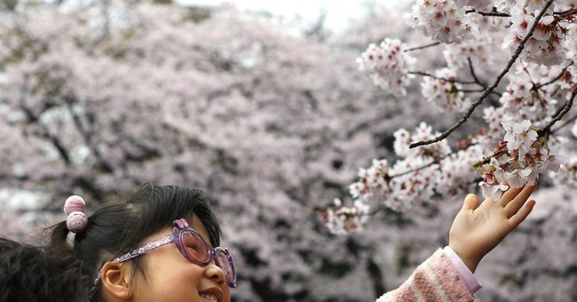 AP PHOTOS: The ephemeral beauty of Japan's cherry blossoms