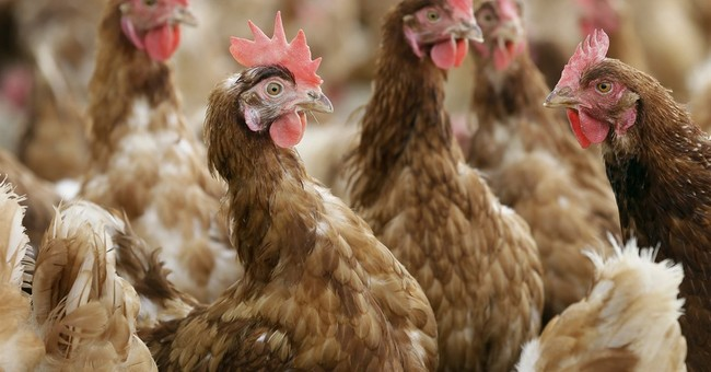 USDA proposes stricter animal welfare rules for organic meat