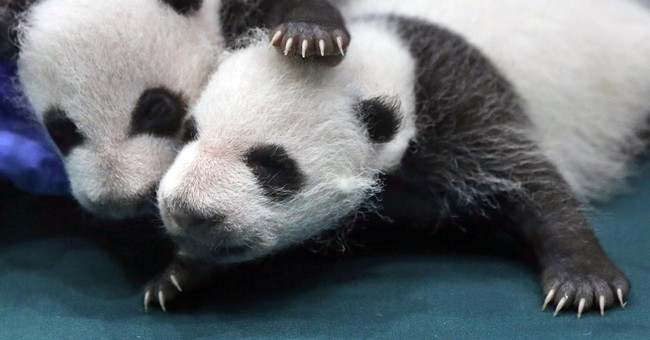 Friday Fun: Take A Look At These Baby Pandas