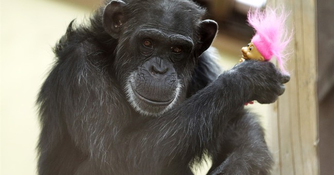 Now We're Talking: Chimps Build Ladder To Escape From Northern Ireland Zoo