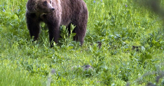 It Might Soon Be Legal To Hunt Grizzly Bears