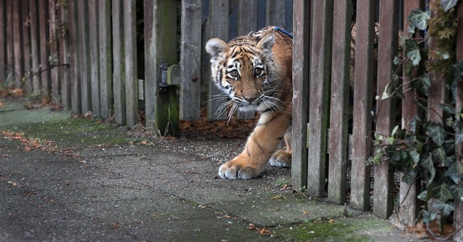 Rejected tiger cub being cared for at German couple's home