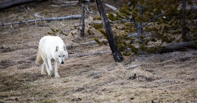 Rare white wolf in Yellowstone park euthanized over injuries