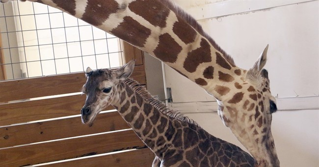 He's how tall? Birth stats out for April the giraffe's calf