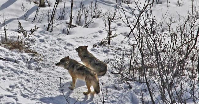 Moose population explodes on island park as wolves decline