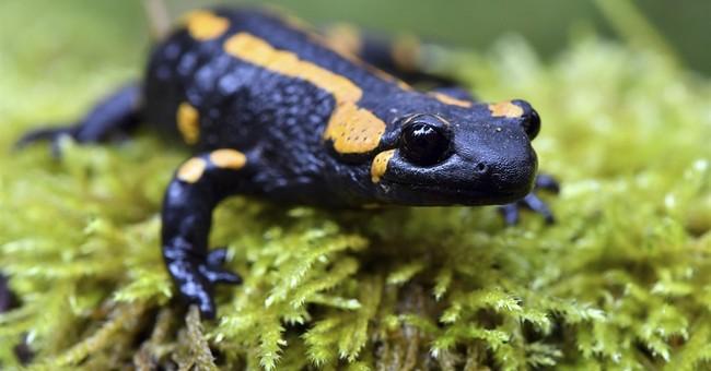 Scientists say 'alien' fungus threatens European salamanders