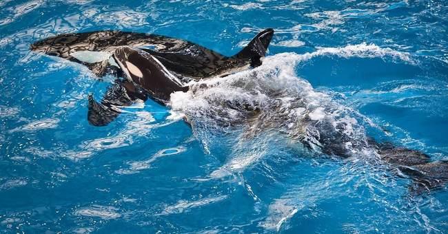 APNewsBreak: Baby orca! Last killer whale born at SeaWorld