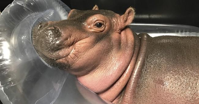 Premature hippo a happy hit for Ohio zoo after gorilla death