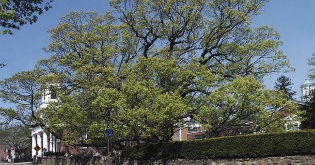 The Latest: Crews start taking down 600-year-old tree