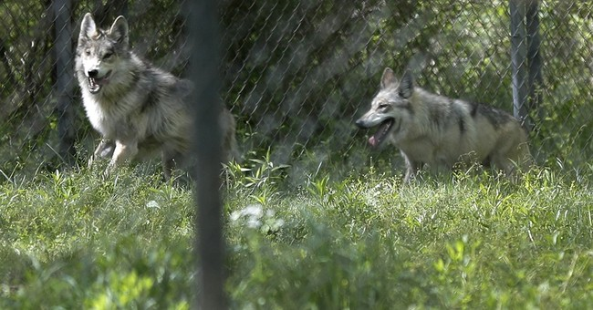 Wolf pup born in Missouri offers hope for endangered breed