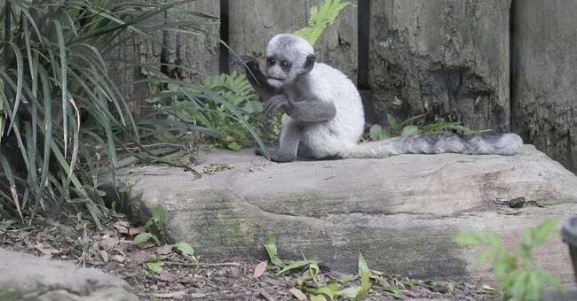 Ooh Ah for Ua: Audubon Zoo's fuzzy baby colobus monkey