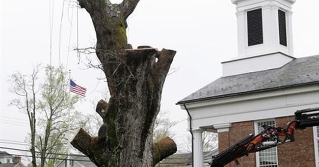 Last sections of beloved 600-year-old tree removed at church