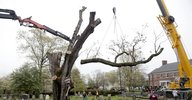 600-year-old tree that witnessed history taken down