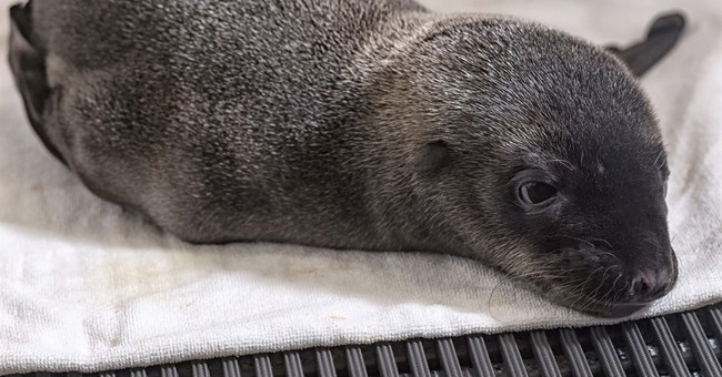 SeaWorld San Diego gets a furry surprise: a baby sea lion