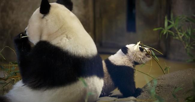 Madrid zoo names latest panda bear Chulina, or Cutey