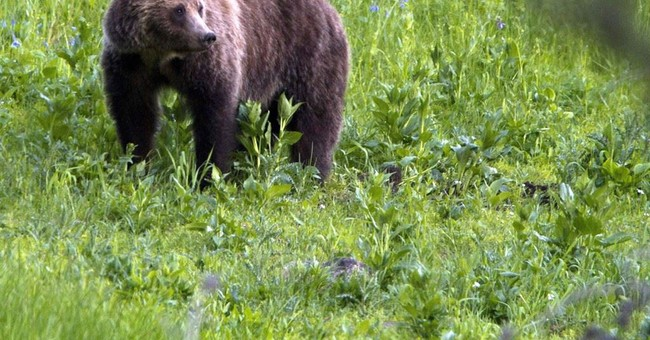 Plan offers 4 options for restoring grizzlies to Washington