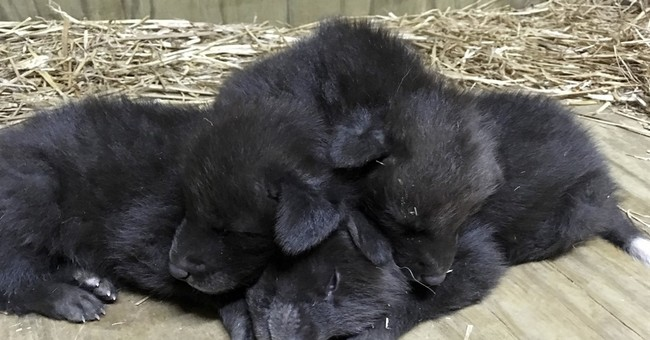 Little Rock Zoo announces births of 3 maned wolf pups