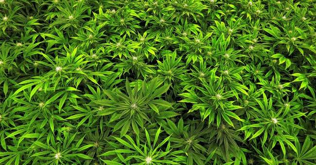 The good, bad and unknown about marijuana's health effects